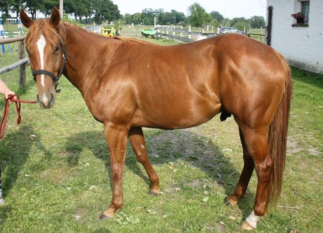 Junger Quarter-Horse-Wallach mit deutlicher Betonung der Hinterhand