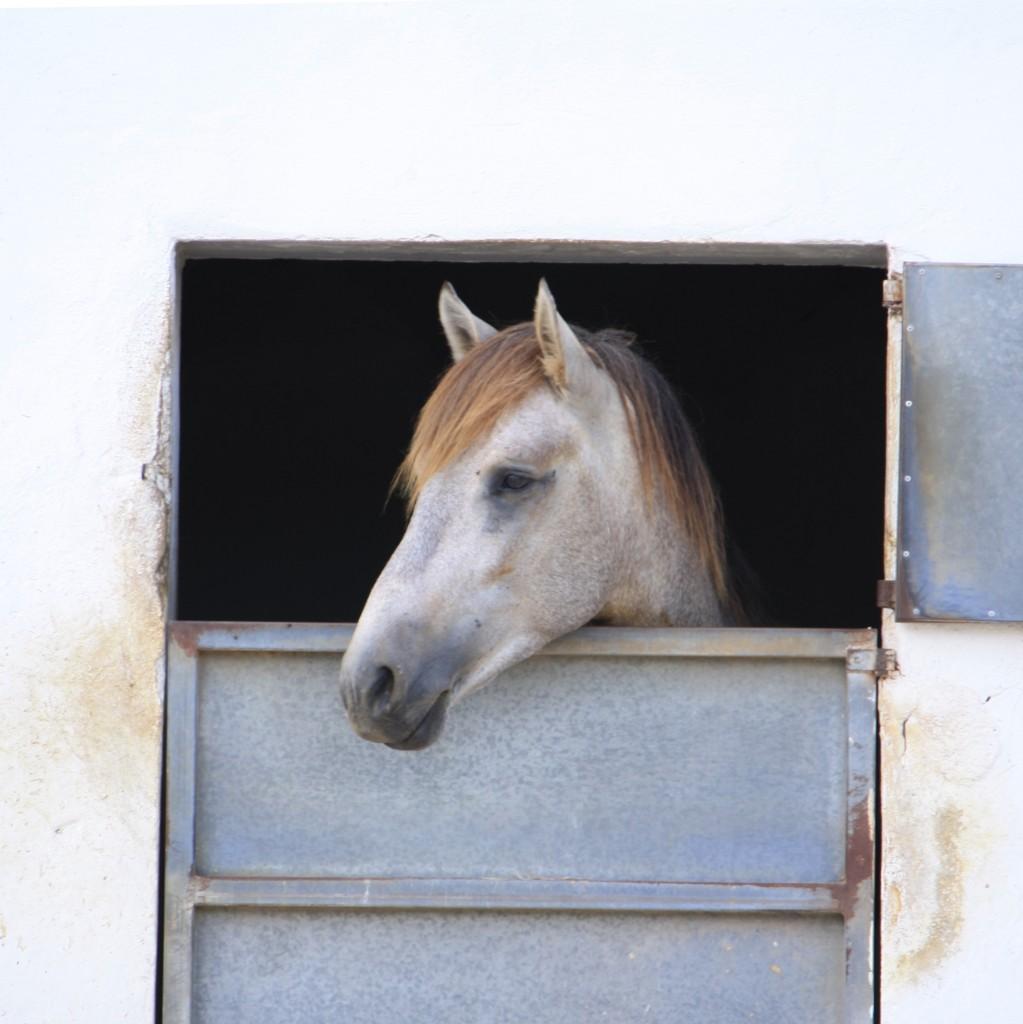 Schimmel auf mallorquinischem Reiterhof - Box mit Ausblick