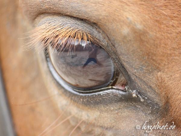 Der Fotograf im Pferdeauge - ein unerwünschter Spiegeleffekt