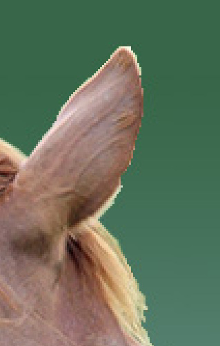 """Detail des freigestellten Pferdekopfes mit """"pixeligem"""" Rand"""