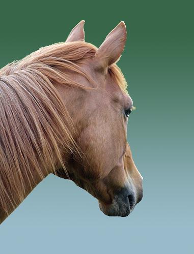 Freigestelltes Pferd vor neuem Hintergrund