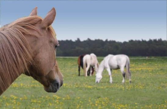 Neue Zusammenstellung: zwei neue Hintergrundbilder und ein neuer Himmel lassen das Pferd auf eine andere Koppel schauen