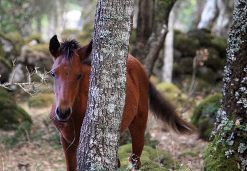 Auch mitten im Wald sind die Wildpferde zu finden. Dieses Fohlen war sehr interessiert an uns während andere Pferde bereits den Rückzug antraten.